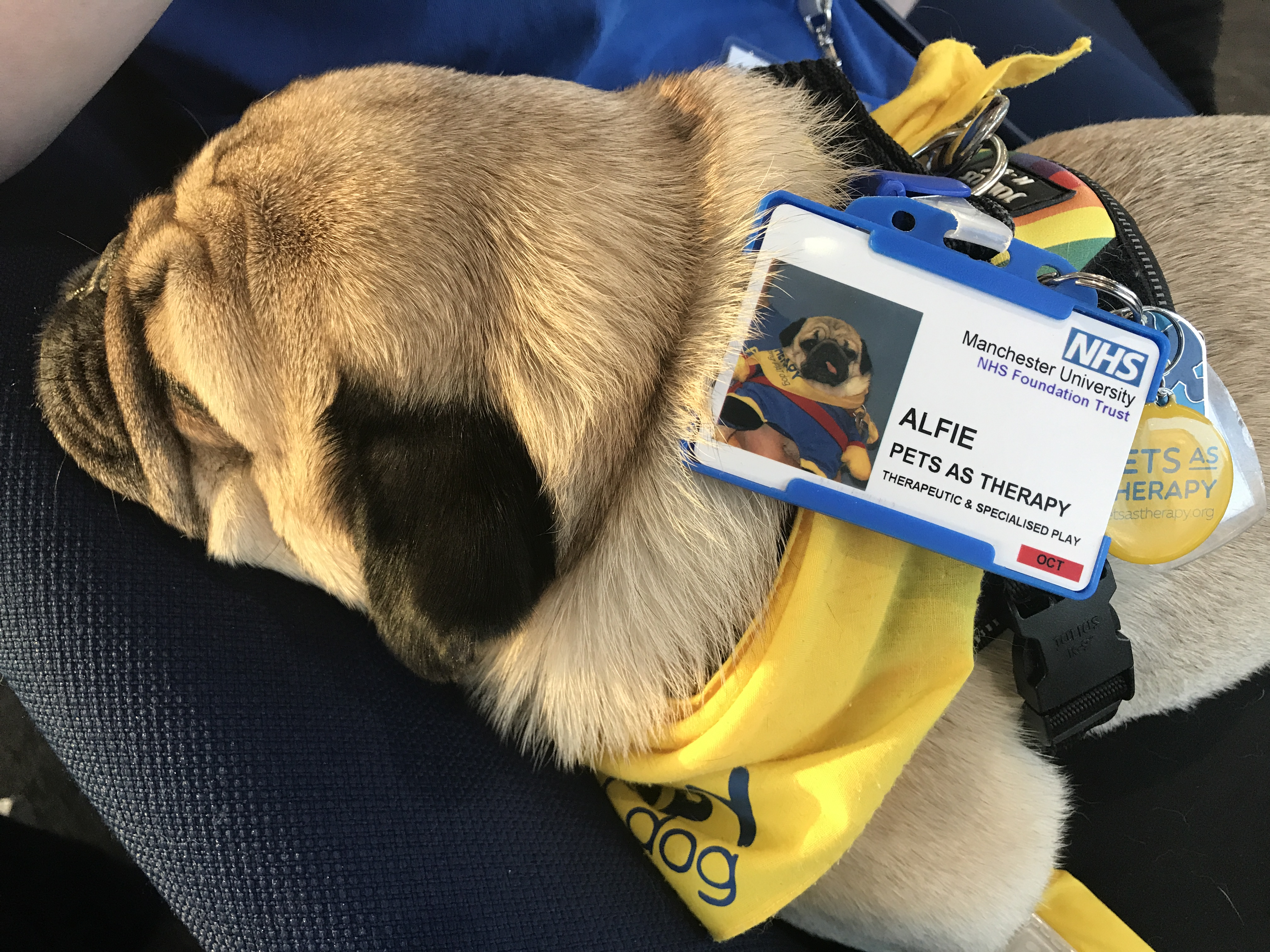 Intensive Care Society | Alfie the therapy dog